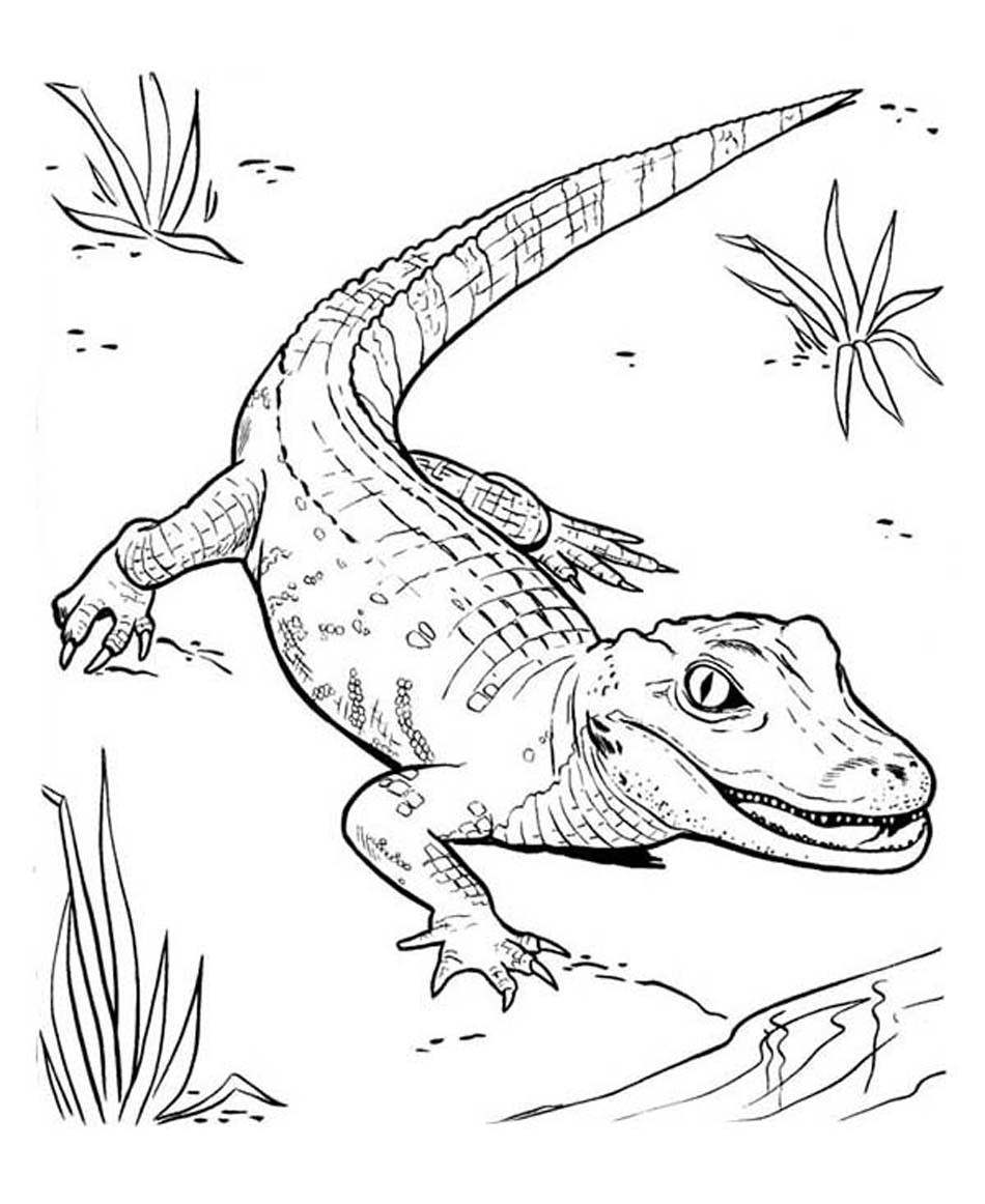 Coloring Page Alligator Ba Crocodile Coloring Pages Luxury Crocodile Drawing Free On Ayoqq