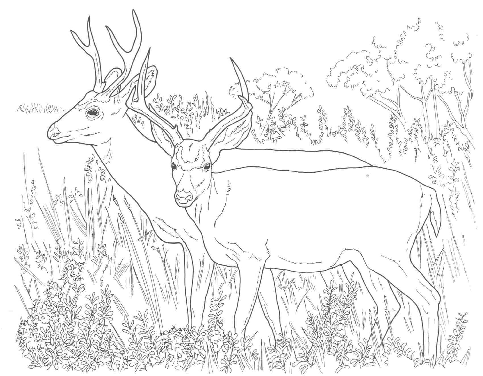 Deer Coloring Pages Hunting Coloring Pages For Adults Attractive Unsurpassed Big Deer Of