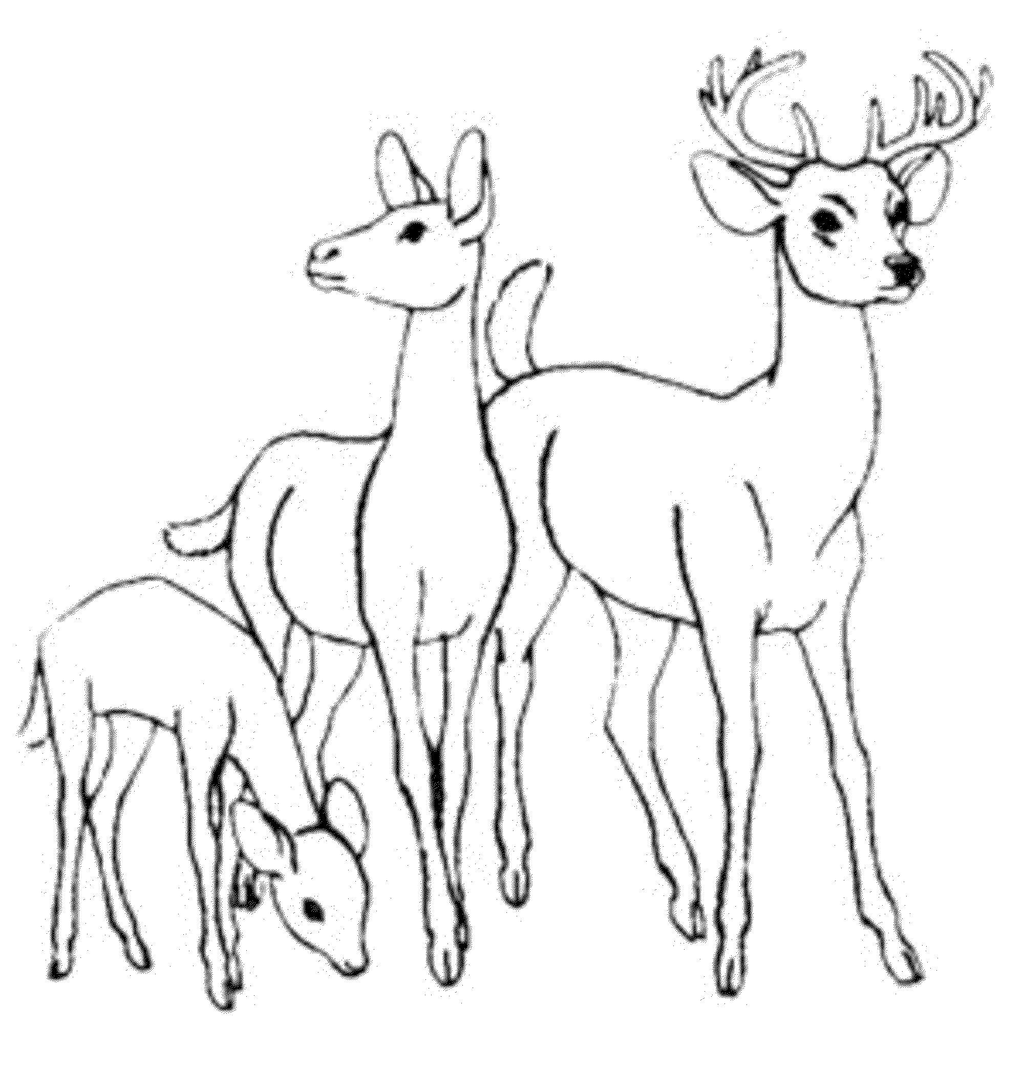 Deer Coloring Pages Whitetail Deer Coloring Pages
