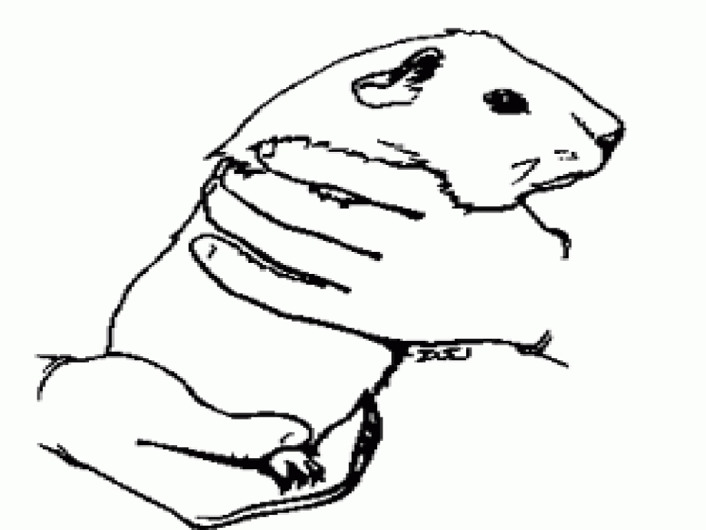 Free Guinea Pig Coloring Pages 24 Guinea Pig Coloring Pages Collections Free Coloring Pages Part 3