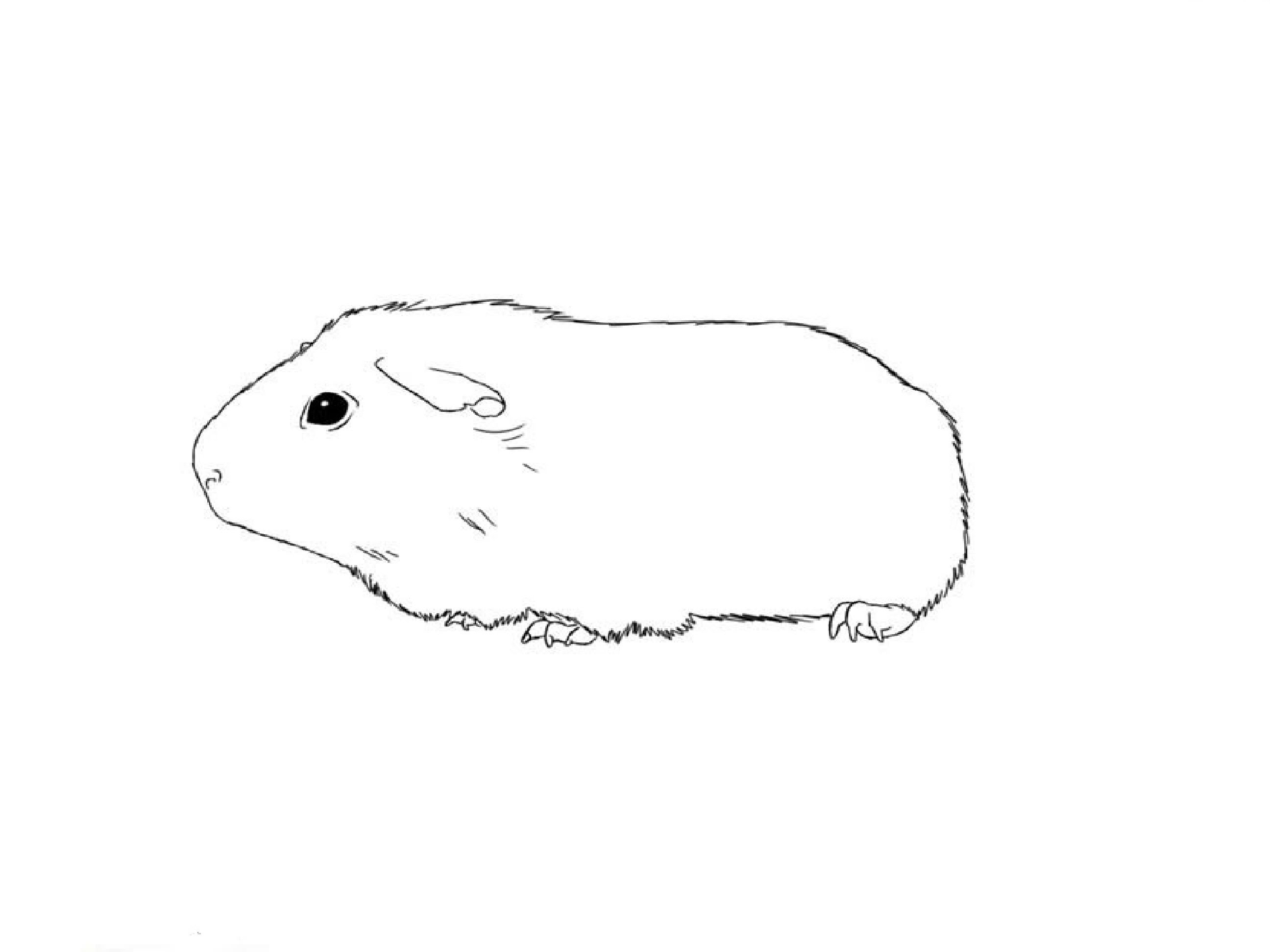 Free Guinea Pig Coloring Pages Guinea Pig Line Drawing Coloring Pages Print Coloring