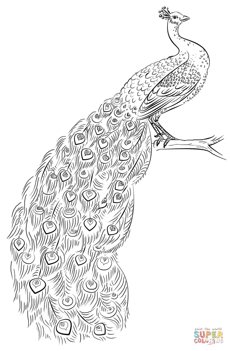 Peacock Color Page Peacock Coloring Page Free Printable Coloring Pages